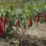 Острый перец – посадка и уход, выращивание перца из семян