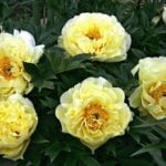 Пионы — выращиваем цветы