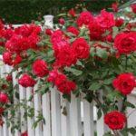 Розы – весенний уход