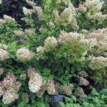 Метельчатая гортензия – посадка и уход в открытом грунте, обрезка и размножение