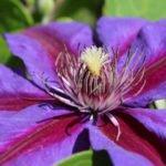 Выращивание клематиса – посадка и уход в саду
