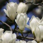 Магнолия – экзотические растения для сада