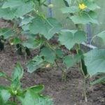 Огурцы — секреты выращивания