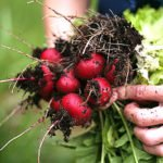 Выращивание редиса — секреты