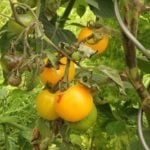 Чем болеют томаты