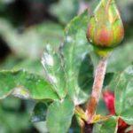 Розы: лечение от болезней и вредителей
