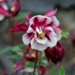 Аквилегия – выращивание и уход, посадка в саду