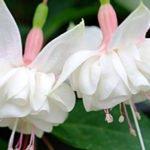 Фуксия – красивое комнатное растение