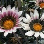 Газания (гацания) – посадка и уход, выращивание из семян