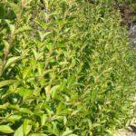 Бирючина — декоративный кустарник