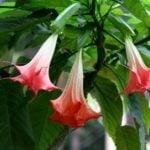 Бругмансия — декоративный вечнозеленый кустарник