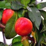Как вырастить нектарин – посадка и выращивание в саду