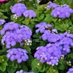 Как вырастить декоративное растение агератум