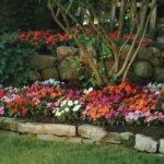 Как вырастить бальзамин садовый из семян