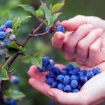 Как вырастить чернику в саду – посадка и уход