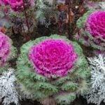 Как вырастить декоративную капусту из семян