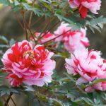 Древовидный пион – цветок императоров