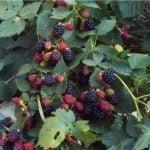 Выращивание ежевики – посадка и уход в открытом грунте