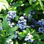 Голубика садовая — посадка и уход