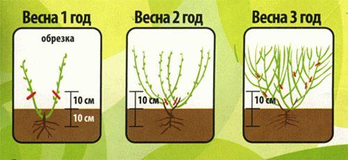 Уход и выращивание ежевики на даче: из семян