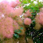 Как вырастить в саду скумпию (париковое дерево)