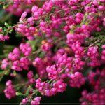 Многолетнее растение – вереск