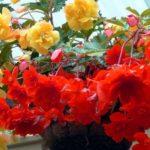 Как вырастить ампельную бегонию – посадка и уход в саду