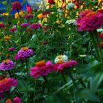 Выращивание циннии из семян, посев на рассаду и уход