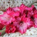 Выращивание гладиолусов в саду – посадка и уход