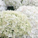 Древовидная гортензия в саду – посадка и уход, обрезка и размножение