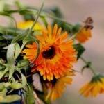 Как вырастить календулу из семян