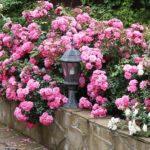 Выращивание почвопокровных роз – посадка и уход в саду