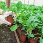 Как вырастить рассаду капусты из семян рассадой