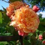 Плетистая роза – посадка и уход, размножение и подвязка