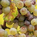 Виноград: болезни и методы борьбы с ними