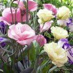 Эустома – посадка и уход в домашних условиях и в саду