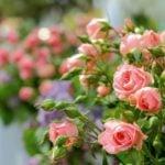 Розы спрей – посадка и уход в саду