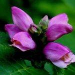 Хелоне – многолетник для сада
