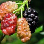 Шелковица – выращивание и уход в саду