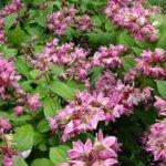 Дейция — красивоцветущий листопадный кустарник