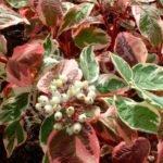Дерен белый в саду: посадка, уход, размножение