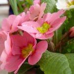 Примула садовая: посадка, размножение, сорта