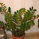 Замиокулькас замиелистный — уход в домашних условиях