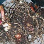 Цветы канны – хранение зимой, подготовка к хранению