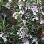 Выращивание розмарина: обрезка и хранение