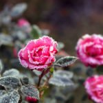 Как укрывать розы на зиму – чем и когда укрывать