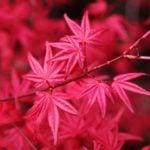 Декоративный клен в саду – виды и сорта