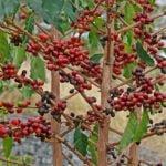 Кофейное дерево в домашних условиях – уход, пересадка, подкормка