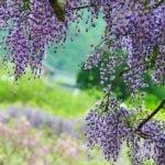 Глициния в саду – выращивание и зимовка