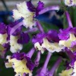 Стрептокарпусы – уход в домашних условиях
